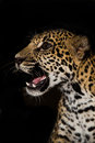 Young jaguar snarl with teeth closeup in jungle on black background high resolution Royalty Free Stock Photos