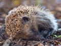 Young juvenile hedgehog Royalty Free Stock Images