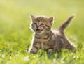 Image : Young kitten cat meowing in the green grass a  cats