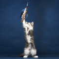 Young kitten cat playing with feather toy cute Royalty Free Stock Photo