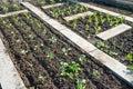 Young kohlrabi plants Royalty Free Stock Photo