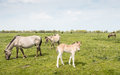 Young konik horse curiously looking around foal standing on the grass between mature horses p Stock Photos