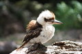Young kookaburra bird in bushland Royalty Free Stock Photo
