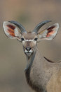 Young kudu bull with big ears bog photgraphed in the wild of south africa Royalty Free Stock Photography