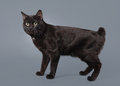 Young kuril bobtail cat on a gray background Royalty Free Stock Photos