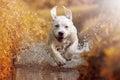 Young labrador dog puppy running through river in sun Royalty Free Stock Photo