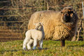 Young Lamb with Ewe mother Sheep Royalty Free Stock Photography