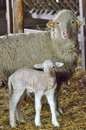Young lamb and sheep Royalty Free Stock Photo