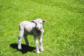 Young lamb a standing in a green field Royalty Free Stock Image