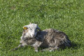 Young lamb who sleeps field Stock Images
