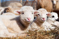 Young lambs smiling and looking at camera while eating and sleeping in the domestic byre Royalty Free Stock Photography