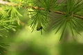 Young larch needles Royalty Free Stock Photo