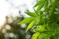 Young leaf of marijuana plant Royalty Free Stock Photo