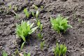 Young leaves of Allium ursinum in spring. Bear garlic, because it is collected in the wild, has great healing abilities