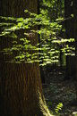 Young leaves highlighted the sun in the woods lush green Stock Photography