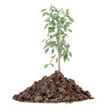Young lemon tree growing from the pile of earth isolated white background Stock Photos