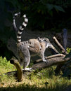 Young lemur Stock Photo