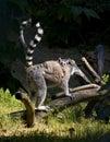 Young lemur Stock Photo