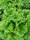 Young lettuce close up,cultivation organic  of lettuce for supermerkate on a farm,Young green shoots of lettuce close-up in natura Royalty Free Stock Photo