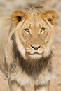 Young lion Royalty Free Stock Image