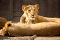 Young lion during afternoon rest Royalty Free Stock Photo