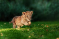 Young lion cub in the wild and green glass Stock Images