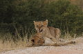 Young lion cubs playing and learning Royalty Free Stock Images