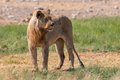 Young lion etosha national park namibia Royalty Free Stock Photography
