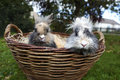 Young lion head bunnies in a basket Royalty Free Stock Image