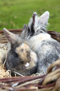 Young lion head bunny in a basket Stock Photo
