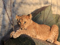 Young lion lying in the evening sun Royalty Free Stock Photography