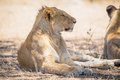 Young lion male rests in Serengeti Royalty Free Stock Photo