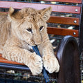 A young lion play Royalty Free Stock Image