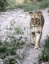 A young lion walks along a dirt road Royalty Free Stock Photo