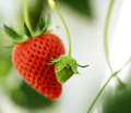 Young little strawberry red riped strawberry Stock Images