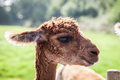 Young llama head shot picture Royalty Free Stock Photo