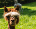 Young llama looks at you with big brown eyes portrait of a cute a white wig and Royalty Free Stock Photos