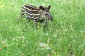 Young lowland tapir Royalty Free Stock Photo