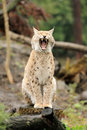 Young lynx Royalty Free Stock Photo