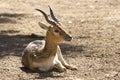 Young Male Blackbuck Antelope