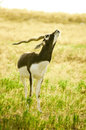 A young male blackbuck antilope cervicapra with indefinite look Royalty Free Stock Photography