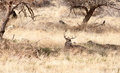 A Young Male Deer Buck Lays in the Shade Royalty Free Stock Photo