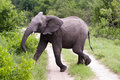 Young male elephant in Kruger park Stock Photography