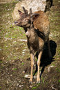 Young male elk calf with new antlers close up image of a or wapiti cervus canadensis very starting Stock Images