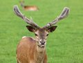 Young male fallow deer close up of a Stock Photography