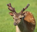 Young male fallow deer close up of a Royalty Free Stock Photography