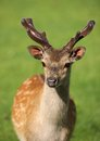 Young male fallow deer close up of a Royalty Free Stock Photo