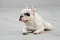 Young male french bulldog with a snob look Stock Photo