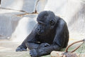 Young male of a gorilla in the zoo open air cage Royalty Free Stock Photo