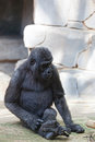 Young male of a gorilla in the zoo open air cage Stock Photography